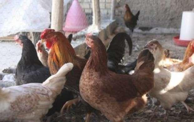 گرانی مرغ به شیوع آنفلوآنزا ارتباطی ندارد