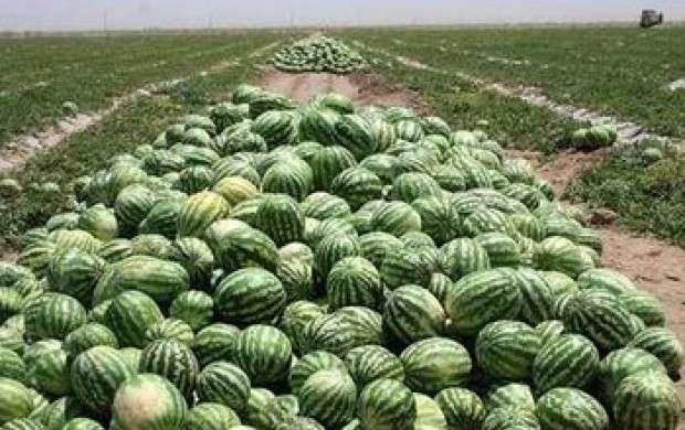 ۲۰۰ هزار تن محصول هندوانه نابود شد