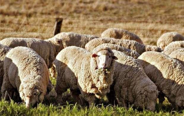 گوسفندها چگونه پرواز می کنند؟