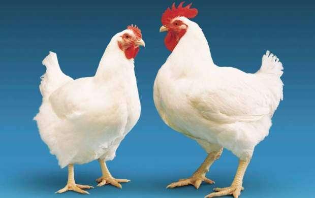 ماجرای رشد سریع مرغ در ۴۲ روز چیست؟