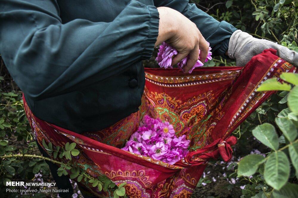 عکس/ برداشت گل محمدی از مزارع مازندران