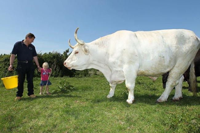 بزرگ ترين گاو جهان